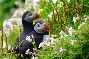 Beautiful Puffin Birds HD Photo