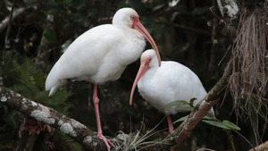 Big White Bird Couple in Jungle 5K Wallpaper