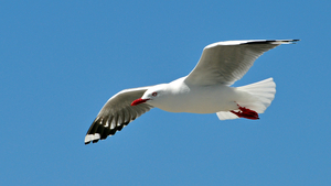 Bird White Seagull Flying HD Image