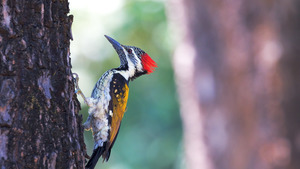 Bird Woodpecker on Tree Nature HD Wallpapers