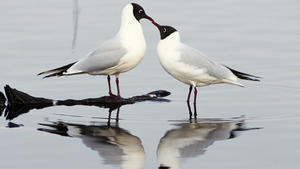 Black and White Two Sea Bird Couple Photo