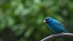 Blue Bird in Forest HD Image