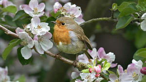 Canadian Small Bird in Garden HD Wallpaper