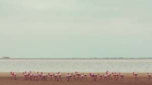 Colony of Flamingo on Beach 5K Wallpaper