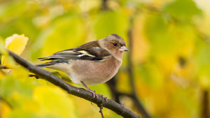 Common Chaffinch Bird HD Wallpaper