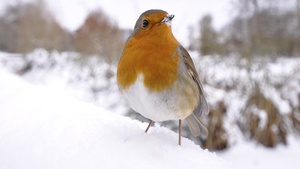 European Robin Bird in Snowy Mountain