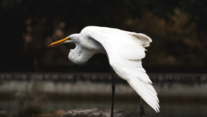 Flying Heron White Big Bird 4K Photo
