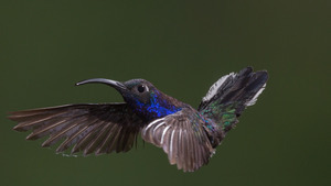 Glossy Blue Hummingbird Flying HD Images