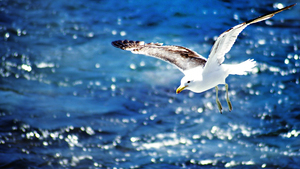 HD Wallpaper of Bird Seagull Flying on Sea