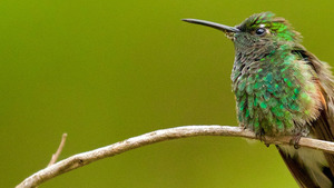 HD Wallpapers of Hummingbird