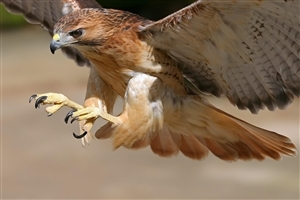 Hawk Bird Flying Wallpaper