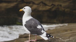 Nice Seagull Seating on Rock Bird Photos