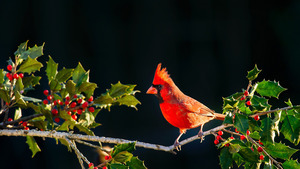 Northern Cardinal Bird HD Wallpapers