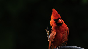 Red Northern Cardinal Bird HD Photo