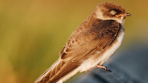 Small Brown Bird Sleeping HD Photo