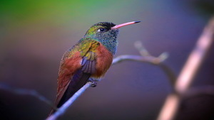 Small Hummingbird HD Background Wallpaper