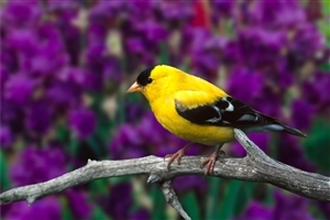 Small Yellow Bird Wallpaper