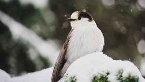 Snowy Bird in Antarctica 4K Wallpaper