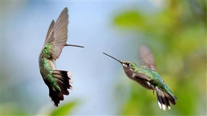 Two Flying Hummingbirds 4K Photo
