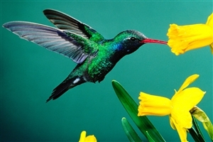 Very Nice Small Humming Bird near Yellow Flower Wallpaper