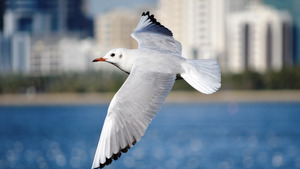 White Seagull Bird Flying 5K Wallpapers