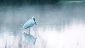 White Spoonbills 4K Wallpaper