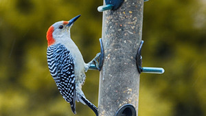 Woodpecker Bird Feeding HD Photo