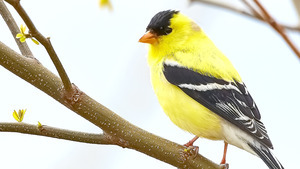 Yellow Bird on Tree Branch HD Image
