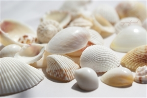 White Seashell HD Wallpaper Background