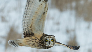 Agile Owl Flying in Snowy Mountain HD Photo
