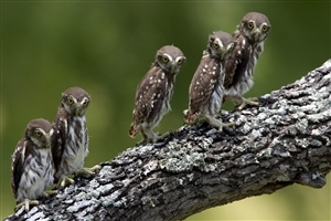 Beautiful Babies of Owl on Tree Image