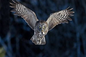 Bird Owl HD Wallpaper
