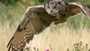 Eagle Owl Bird Flying HD Pics