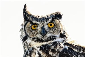 Owl Bird HD Photo