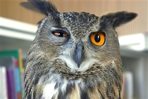 Owl Blink His Eye Photo