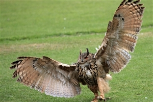 Owl Spred Her Wings Photo