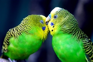 Beautiful Cute Parrots Kissing Romantic HD Wallpaper