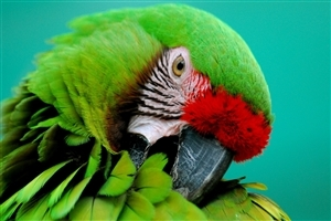 Beautiful Green Parrot HD Wallpaper