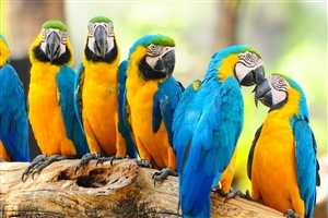 Blue and Yellow Parrot HD Wallpaper