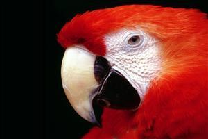 Cute Red Parrot Wallpaper