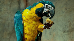 Domesticated Parrot Bird Eating HD Photos