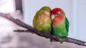 Love Bird Parrot on Branch 4K Wallpaper