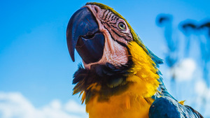 Macaw Parrot with Big Beak CloseUp Wallpapers