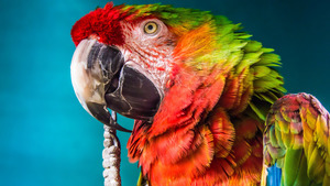 Parrot with Big Beak 5K Wallpaper