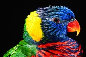 Rainbow Colorful Parrot Bird Wallpaper