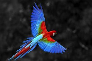 Red Blue Parrot Flying in Sky