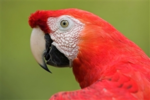 Scarlet Macaw Big Red American Parrot Wallpaper