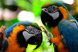 Two Colorful Parrots Fighting HD Bird Wallpapers