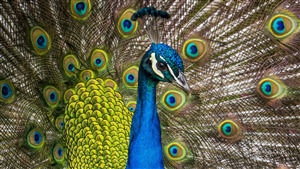 Amazing Photo of Beautiful Peafowl Bird
