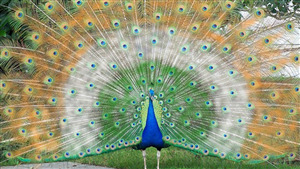 Beautiful Indian Flag in Peacock Feather